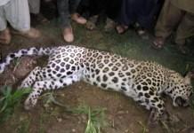 Lion Attack in abbottabad