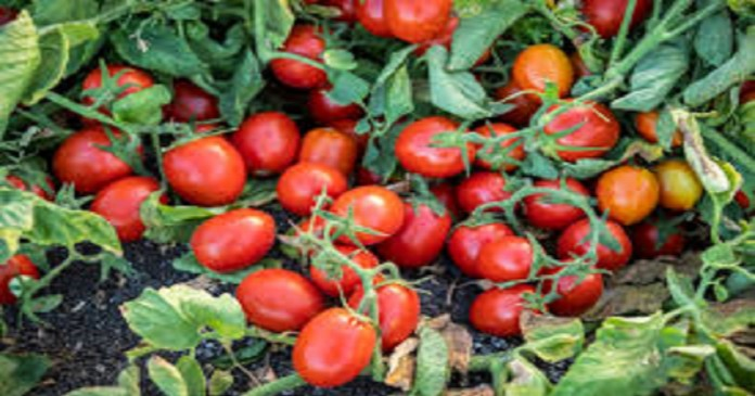 tomatoes-rs-20-kg-in-hyderabad-loss-to-farmers